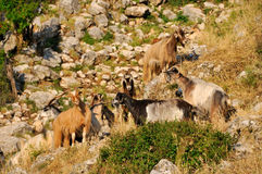 Bande de chèvres Image stock