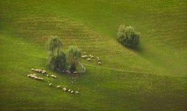 Bande de frôler des moutons Image stock