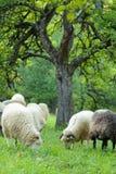 Bande de moutons Photo stock
