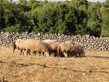 Bande de moutons Photos stock