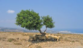 Bande de moutons Image libre de droits