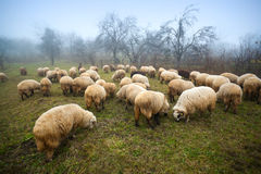 Bande de moutons Images stock