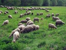 Bande de moutons Photographie stock libre de droits