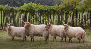 Bande de moutons Photographie stock