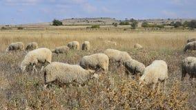 Bande de moutons clips vidéos