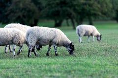 Bande de moutons Photos stock