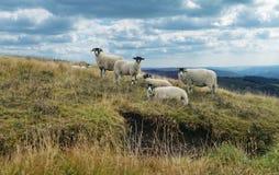 Bande de moutons Photographie stock