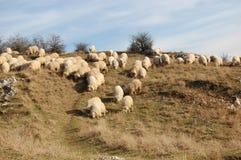 Bande de moutons Images stock