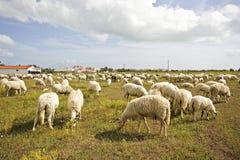 Bande de moutons dans la campagne Portugal Images libres de droits