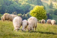Bande de moutons dans les montagnes de Taunus Image stock