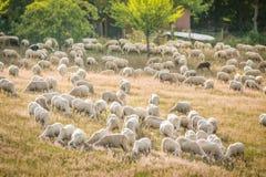 Bande de moutons dans les montagnes de Taunus Photographie stock libre de droits