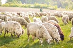 Bande de moutons dans les montagnes de Taunus Images stock