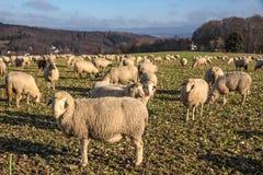 Bande de moutons dans les montagnes de Taunus Photos stock