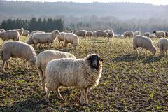 Bande de moutons dans les montagnes de Taunus Photo stock