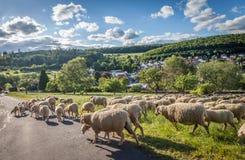 Bande de moutons dans les montagnes de Taunus Photos libres de droits