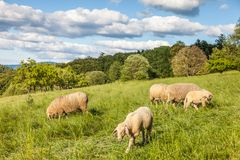 Bande de moutons dans les montagnes de Taunus Photo libre de droits