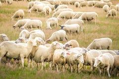 Bande de moutons dans les montagnes de Taunus Images libres de droits