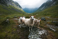 Bande de moutons. La Scandinavie, vallée de traînes Images libres de droits