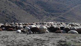 Bande de moutons banque de vidéos