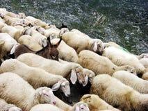Bande de moutons sur un Pasubio avec l'âne photos stock