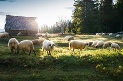 Bande de pâturage de moutons Photos libres de droits