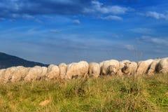 Bande de pâturage de moutons Photographie stock libre de droits