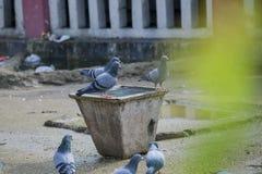 Bande de pigeons photo libre de droits