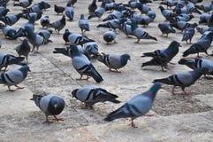 Bande de pigeons image stock