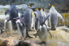 Bande de pingouin photos libres de droits