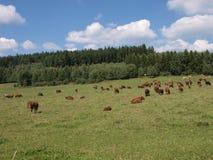 Bande de vache sur un pâturage Photographie stock libre de droits