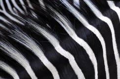 Bande della zebra Immagini Stock