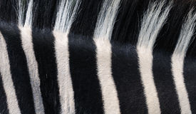 Bande della zebra fotografie stock