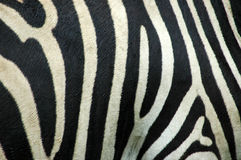 Bande della zebra Immagine Stock