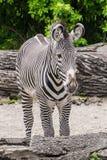 Bande delle orecchie della pelliccia in bianco e nero della zebra grandi Immagine Stock