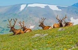 Bande des élans dans le Colorado images stock