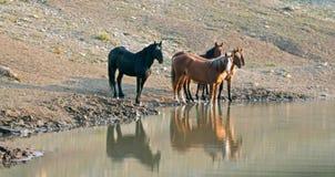 Bande des chevaux sauvages se reflétant dans l'eau au point d'eau dans la chaîne de cheval sauvage de montagnes de Pryor au Monta Photographie stock libre de droits