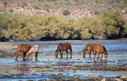 Bande des chevaux sauvages sur la rivière Photographie stock