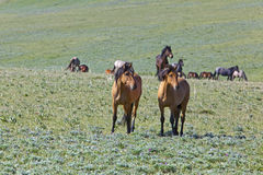 Bande des mustangs sauvages Photographie stock libre de droits