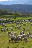 Bande et berger de moutons Images stock