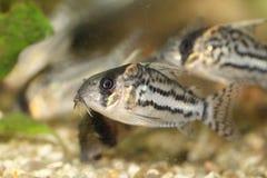 Bande-poisson-chat (schwartzi de Corydoras) Photo libre de droits