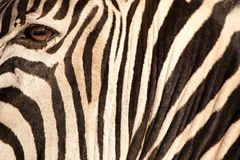 Bande (zebra) Fotografie Stock Libere da Diritti