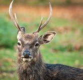 Bandeau de mâle de cerfs communs de Sika - Cervus Nippon Photos stock