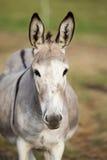 Bandeau mignon de portrait d'âne Image libre de droits