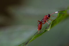 Banded Antennae. Small red wasp with antennae with three colors on a green leaf royalty free stock photography