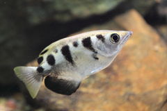 Banded archerfish. The banded archerfish (Toxotes jaculatrix Stock Photos