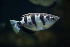 Banded archerfish (Toxotes jaculatrix). Royalty Free Stock Images