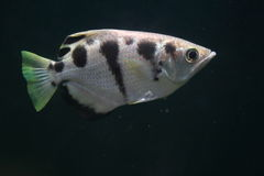 Banded archerfish. The banded archerfish in water Stock Photo