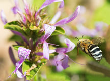 Banded bee approaches flower Royalty Free Stock Image