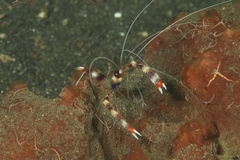 Banded boxer shrimp Royalty Free Stock Photography