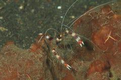 Banded boxer shrimp. (stenopus hispidus) - Lembeh Strait, North Sulawesi, Indonesia Royalty Free Stock Photography